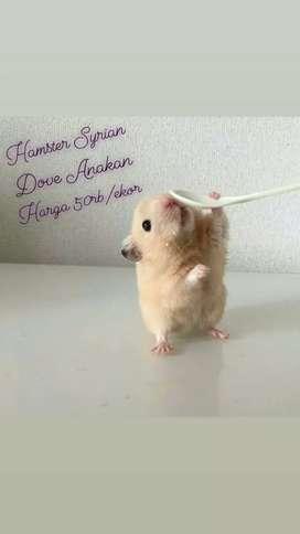 Ready Hamster Syrian cantik jinak lucu