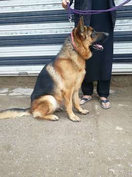 German Shephard 20 month old for sale