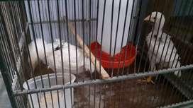 Anak ayam bangkok birma