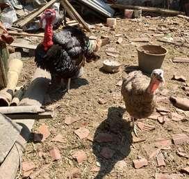 Ayam kalkun soreang