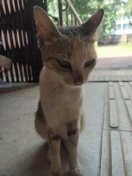 Indian Brown Cat