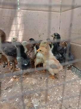 Anak ayam kampung 18 ekor