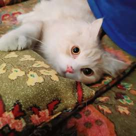Persian Male ( 1 year old )