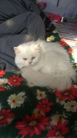 Pure Persian cat for sell