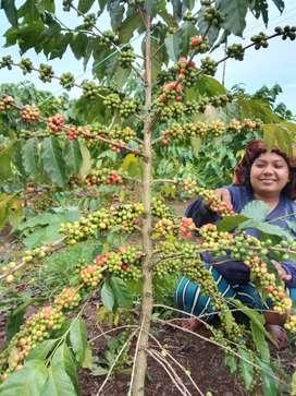 Sewa tanah kebun lahan garapan kopi bandung