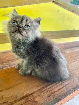 Kucing Persia flatnose jantan