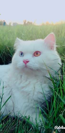 double coated Persian male cat