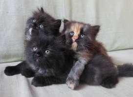 Kitten Persia - 3 ekor