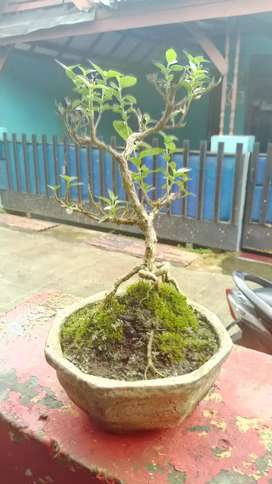 Bonsai Sancang mame