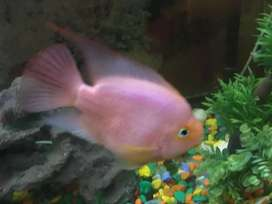 Red Fish for sale