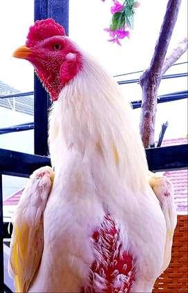 Ayam bangkok sidoarjo uk 5 sd 5,5