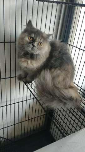 Kucing Persia usia 7 bln