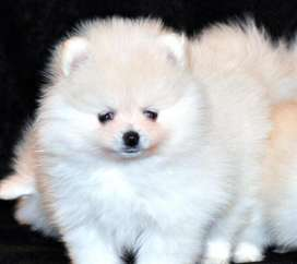 Imported pedigree rare-most white colour pomeranian male pup