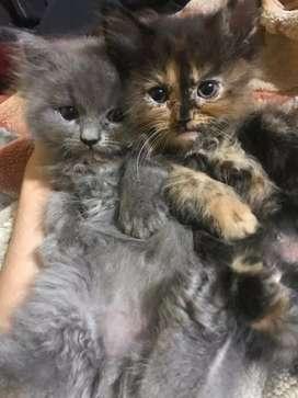 Persian kitten 2 month kitten male female set