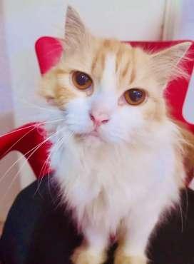 Persian cat for loving home