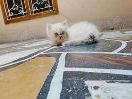 2 month Persian kitten unique colour (off white &grey)