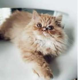 Persian cats for sell.