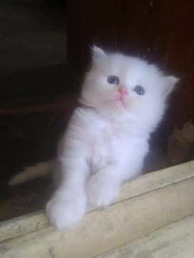 Cats for sell