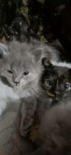 British short hair male kittens