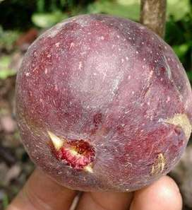 Fig from USA - grafted sweet injeer plants