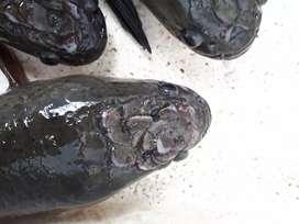 Ikan Gabus Calon Indukan
