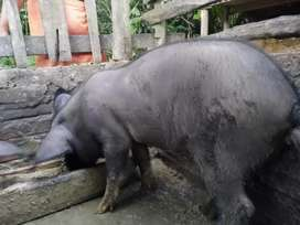 Piggy for sale