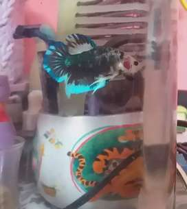 Cupang multicolor