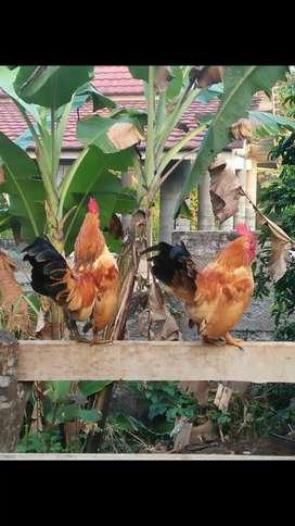 Ayam kate jantan betina harga sama saja