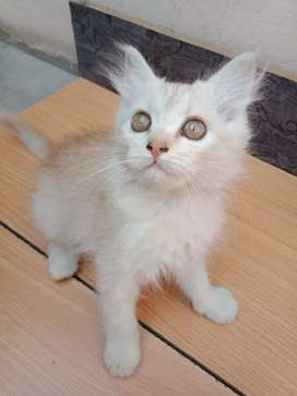 Persian Female kitten for Sale, Healthy and Playful