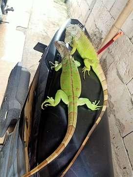 Gren iguana 86 cm +- sehat