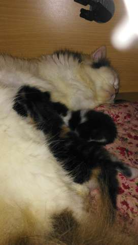 kucing persia flat nose