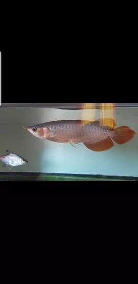 Arwana super red 30 cm up