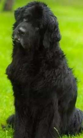 Newfoundland imported puppy's available
