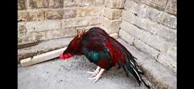 Amroha aseel bird .fix price only contact if agree