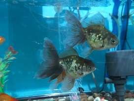 Di Jual Ikan Mas Koki ukuran JUMBO