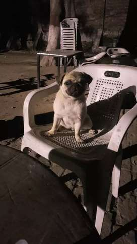1.5 year pug female for sale