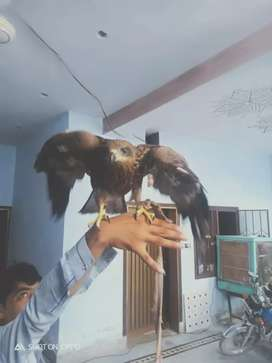 Golden eagle for sell
