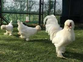 Extremely Rare & Exotic Sultan Chicks for Sale - 1 Week Old - Rs 6000