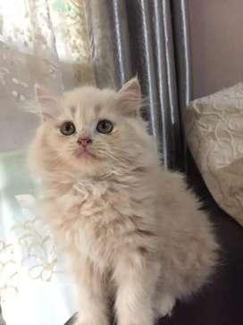 Kucing anggora 3 bln betina