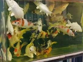 Ikan koi sehat sehat terawat