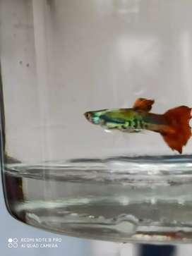 Guppy fish male , female