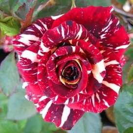 Mawar batik pancawarna