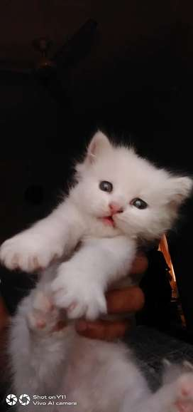 Sor sale persion kitten one month age