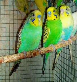 Bajri Pair + Extra Males for sale in Rawalpindi