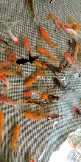 Gold fish all varieties available