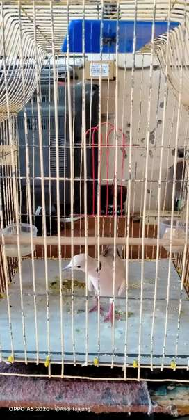 Burung Balam jambi