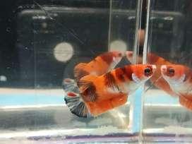 Ikan cupang female