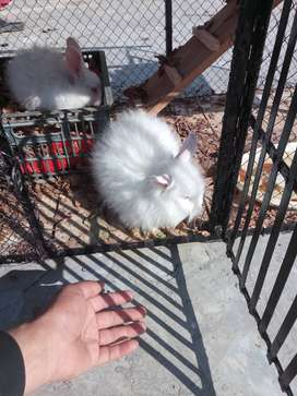 Double mane lionhead Angora red eyes best quality pure breed