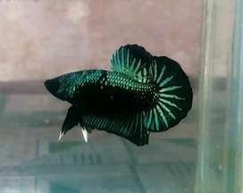 Ikan cupang green samurai