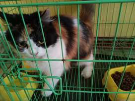 Kucing persia medium betina belang 3.
